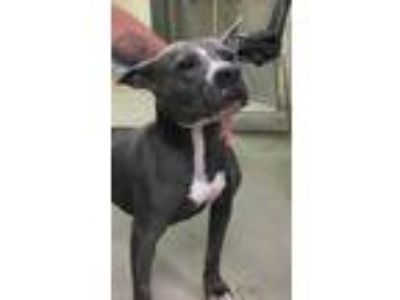 Adopt Greyman a Gray/Blue/Silver/Salt & Pepper American Pit Bull Terrier / Mixed