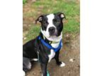 Adopt Gaston a Pit Bull Terrier / Mixed dog in Barrington, RI (25905100)