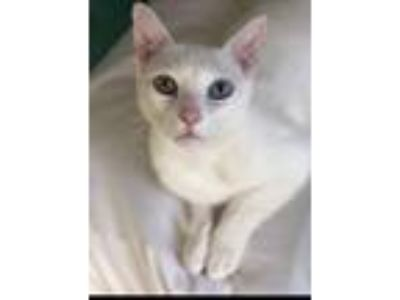 Adopt Frank a White American Shorthair cat in Los Angeles, CA (25079644)