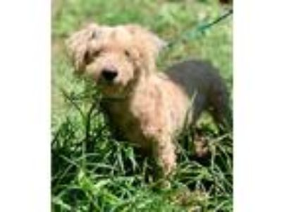 Adopt CARSON a White - with Tan, Yellow or Fawn Poodle (Standard) / Mixed dog in