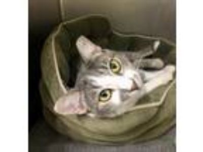 Adopt Button a Domestic Shorthair / Mixed cat in Elmsford, NY (25580029)