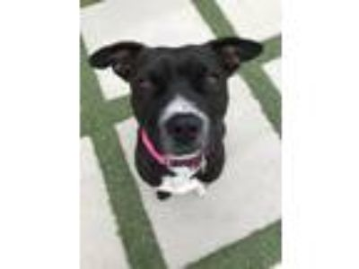 Adopt Ima a Pit Bull Terrier, Border Collie