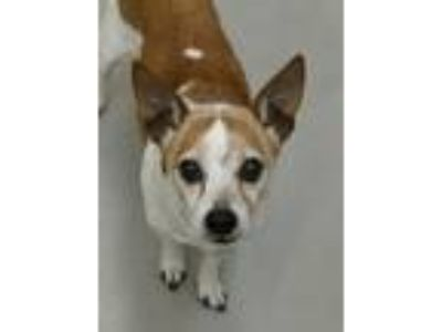 Adopt Athens a White - with Red, Golden, Orange or Chestnut Jack Russell Terrier