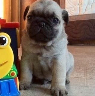 composed Pug Puppies