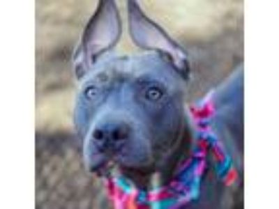 Adopt Berry a Pit Bull Terrier, Mixed Breed