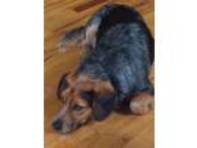 Adopt Oliver a Gray/Silver/Salt & Pepper - with Black Beagle / Australian