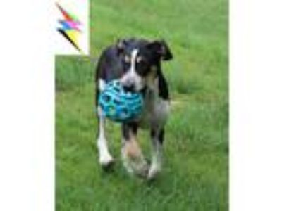 Adopt 181011 Paul a Tricolor (Tan/Brown & Black & White) Hound (Unknown Type) /