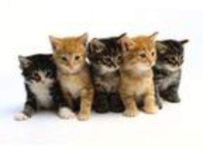 Adopt Bundle of kittens a Spotted Tabby/Leopard Spotted Bengal (short coat) cat