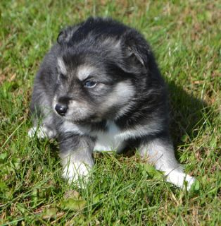 Pomsky PUPPY FOR SALE ADN-101568 - Pomsky Puppies