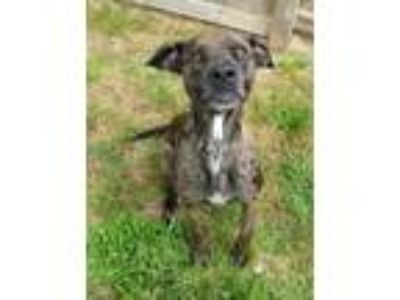 Adopt Dobby a Catahoula Leopard Dog, Boxer
