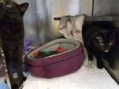 Adopt Dos and Echo a Domestic Short Hair