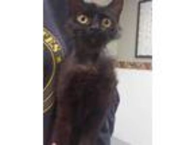 Adopt Gypsi a All Black Domestic Shorthair / Domestic Shorthair / Mixed cat in