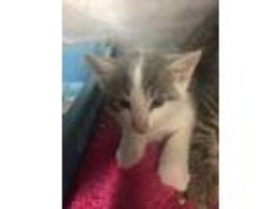 Adopt Orb a Gray or Blue Domestic Mediumhair / Domestic Shorthair / Mixed cat in