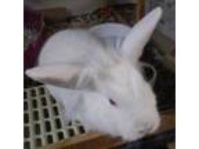 Adopt ABIGAIL a White Lionhead / Mixed (short coat) rabbit in Newport