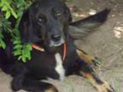 Adopt Furgie a Collie, Black and Tan Coonhound