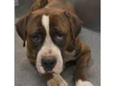 Adopt Tiger a Brindle Boxer dog in Dallas, TX (25640603)