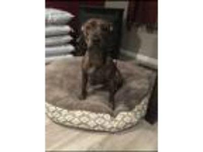 Adopt Harper a Brindle American Pit Bull Terrier dog in Pasadena, MD (25320586)