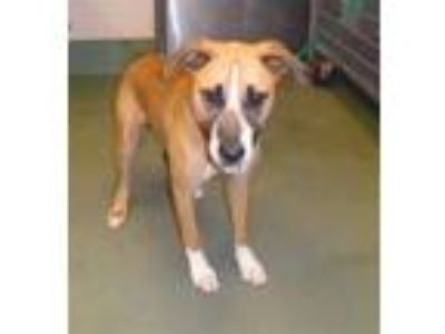 Adopt Buck a Hound (Unknown Type) / Mixed dog in Raleigh, NC (25887257)