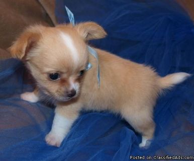 AKc Reg Chihuahua Puppies For Sale.