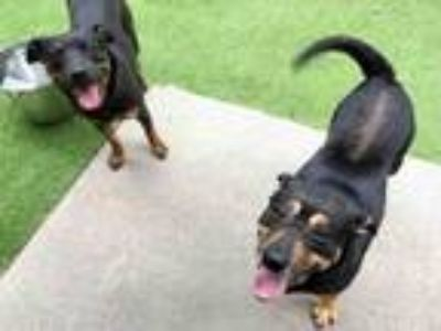 Adopt JANE a Black and Tan Coonhound, Rottweiler