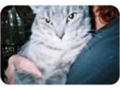 Adopt Frack a Gray, Blue or Silver Tabby American Shorthair (short coat) cat in