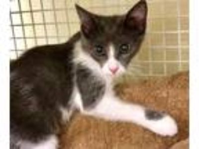 Adopt Divina a Domestic Medium Hair