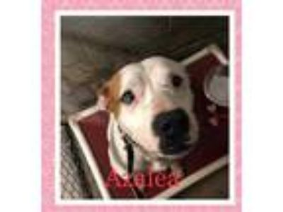 Adopt Azalea a White American Pit Bull Terrier / Mixed dog in Mission
