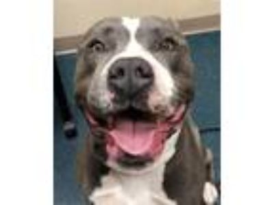 Adopt Kewee a Pit Bull Terrier