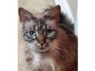 Adopt Cozumel a Domestic Medium Hair, Siamese