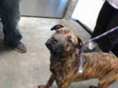 Adopt MOZART a Brindle American Pit Bull Terrier / Mixed dog in Tulsa