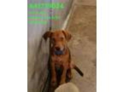 Adopt 41739024 a Brown/Chocolate Retriever (Unknown Type) / Mixed dog in