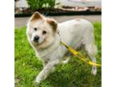 Adopt Aspen a Chow Chow / Terrier (Unknown Type, Medium) / Mixed dog in Austin