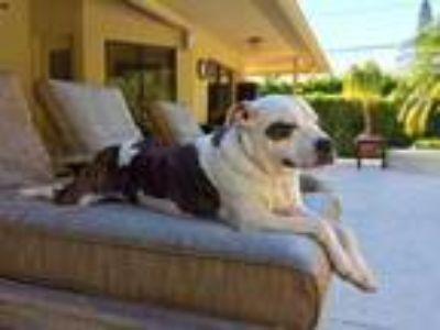 Adopt Chewy a White Boxer / American Pit Bull Terrier / Mixed dog in West Palm