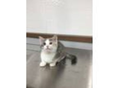 Adopt Vivian a Gray or Blue American Shorthair / Domestic Shorthair / Mixed cat