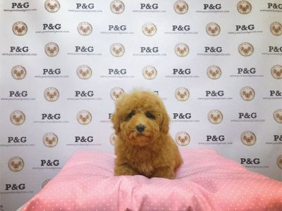 Maltipoo - Paul - Male
