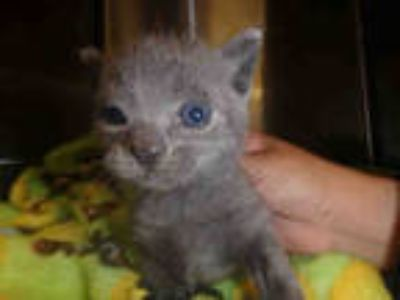 Adopt CHARCOAL a Gray or Blue American Shorthair / Mixed (short coat) cat in Van