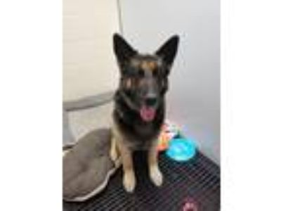 Adopt Malichi a German Shepherd Dog