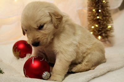 Golden Retriever PUPPY FOR SALE ADN-55152 - Beautiful Golden Retriever puppies