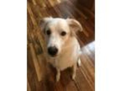 Adopt Coco a White - with Tan, Yellow or Fawn Great Pyrenees / Mixed dog in