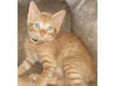 Adopt Memphis a Domestic Short Hair