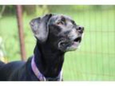 Adopt Cooper a Black Labrador Retriever