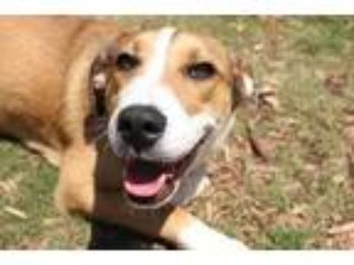 Adopt Ester* a Tan/Yellow/Fawn Hound (Unknown Type) / Mixed dog in Anderson