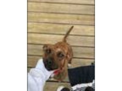 Adopt Ginger a American Pit Bull Terrier / Mixed dog in Poughkeepsie