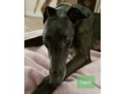 Adopt Layla a Greyhound
