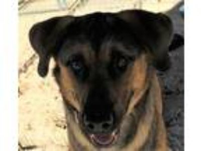 Adopt Balsam a German Shepherd Dog