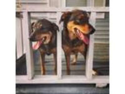 Adopt Ollie & Berkley a German Shepherd Dog, Labrador Retriever