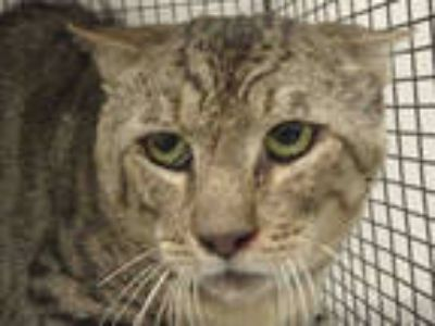 Adopt JJ a Brown Tabby Domestic Shorthair / Mixed (short coat) cat in Van Nuys