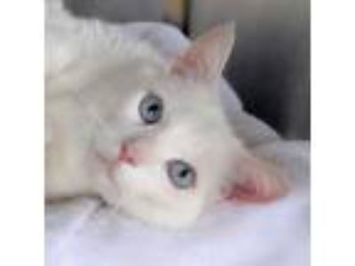 Adopt Tooty a Domestic Short Hair