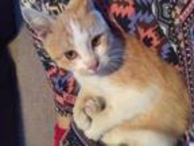 Adopt White and Orange Kitty a Domestic Short Hair