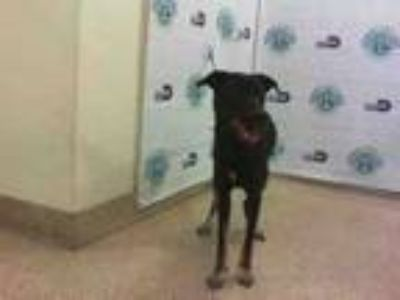 Adopt MARLIN a Rottweiler, German Shepherd Dog